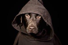 hooded skrämmande labrador för choklad överkant Arkivbild