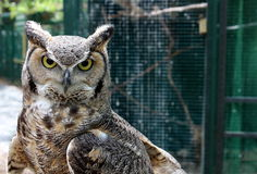 Hooded stare of Great horned owl Stock Images