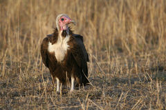 Hooded Vulture Stock Image