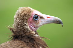 Hooded vulture Stock Photo