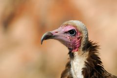 Hooded Vulture Stock Photos