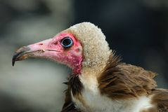 Hooded Vulture Stock Images