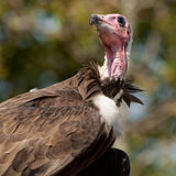 Hooded Vulture Royalty Free Stock Images