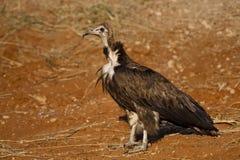 Hooded Vulture, Botswana Stock Photos