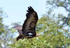 Hooded Vulture in flight Stock Photos