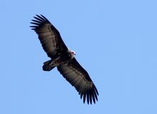 Hooded vulture in flight stock image
