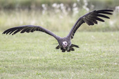 Hooded vulture flying close to ground. Hooded vulture - necrosyrtes monachus - in flight close to the ground Royalty Free Stock Photos
