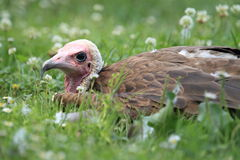 Hooded vulture Royalty Free Stock Image