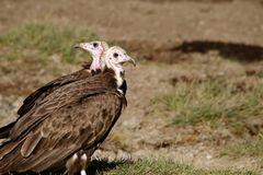 Hooded Vulture (Necrosyrtes monachus) Royalty Free Stock Photography