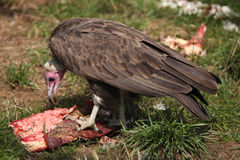 Hooded vulture (Necrosyrtes monachus). Stock Image