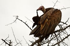 Hooded vulture (Necrosyrtes monachus) Royalty Free Stock Image