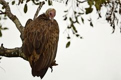 Hooded vulture (Necrosyrtes monachus) Royalty Free Stock Images