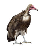 Hooded vulture - Necrosyrtes monachus Stock Images