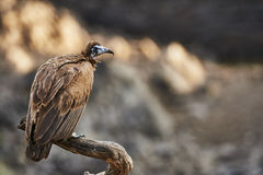 Hooded vulture perched on a branch. In the Serengeti National Park Royalty Free Stock Photos