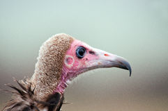 Hooded Vulture Portrait. A side profile portrait of a hooded vulture Stock Images