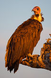 Hooded Vulture Royalty Free Stock Photos