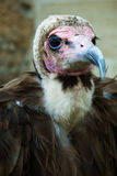 Hooded Vulture Portrait. A close-up portrait of a Hooded Vulture (Necrosyrtes monachus Stock Image