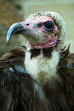 Hooded Vulture Profile Close-up. A close-up portrait of a Hooded Vulture (Necrosyrtes monachus Royalty Free Stock Photography