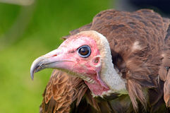 Hooded Vulture side on portrait. A captive Hooded Vulture keeping cool between displays Stock Images
