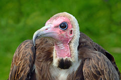 Hooded Vulture side on portrait. A captive Hooded Vulture keeping cool between displays Royalty Free Stock Photos