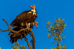 Hooded Vulture Stock Photography