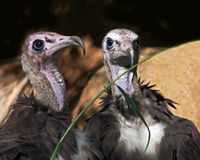 Hooded vultures stock photography