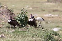 Hooded Vultures Necrosyrtes monachus with an African sacred ibis Threskiornis aethiopicus Royalty Free Stock Images