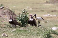 Hooded Vultures Necrosyrtes monachus with an African sacred ibis Threskiornis aethiopicus Royalty Free Stock Photography