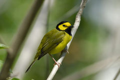 Hooded Warbler ( Wilsonia citrina ). A yellow and black Hooded Warbler perched on a branch Royalty Free Stock Photo