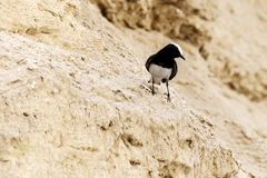Hooded Wheatear - Tomas Ruginis black and white bird. Hooded Wheatear - Tomas Ruginis - black and white bird sits on a sand rock close-up Royalty Free Stock Photography