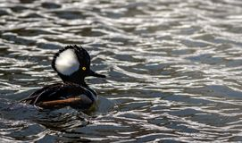 Male Hooded Merganser swimming along reflective water. Hooden Merganser Lophodytes cucullatus male duck has striking plumage on his head, appearing oversized and Royalty Free Stock Image