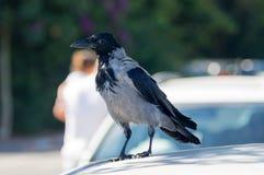 Hoodie, cornix do Corvus, cornix do corone do Corvus, fim-u fotos de stock royalty free