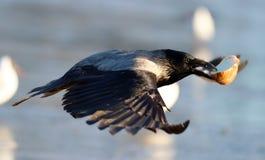 Hoodie crow flies wings food. Crow carries in its beak bread stock photos