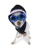 Hoodie dog Royalty Free Stock Image