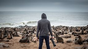 Hoodie man with fur seals in Cape Cross, Namibia. Hoodie man traveler and photographer standing over ten thousands fur seals in Cape Cross, Skeleton Coast royalty free stock photo