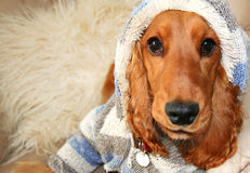 Hoodie Spaniel with Attitude. Cute Cocker Spaniel with hooded Jacket makes itself at home, taken with wide angle Lens Royalty Free Stock Photo