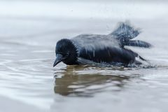 Hoodiecrow bathing in the sea. Hoodiecrow bathing in the water of the seashore Stock Photo