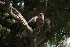 Hoods Caracara bird in Patagonia. A Hoods Caracara bird in Patagonia royalty free stock images