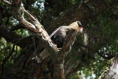 Hoods Caracara bird in Patagonia. A Hoods Caracara bird in Patagonia stock photo