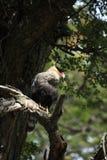 Hoods Caracara bird in Patagonia. A Hoods Caracara bird in Patagonia stock image