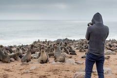 Hoody męski fotograf stoi nad dziesięć tysięcy futerkowymi fokami wewnątrz Zdjęcie Royalty Free