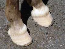 Hoof. Sheath covering the toes or lower part of the foot of a mammal stock photo
