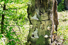 Hoof Fungi Growing on a Dead Tree Trunk Stock Images