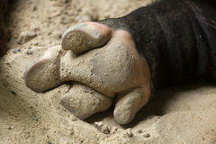 Hoof of the Malayan tapir Tapirus indicus. Also known as the Asian tapir stock photography