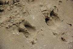 Hoof prints of a wild pig. Stock Photos