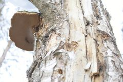 This hoof-shaped object is not chaga at all. Although growing on the birch. Well, you never know what`s on it, the poor can grow!. This is the true tinder Stock Photography