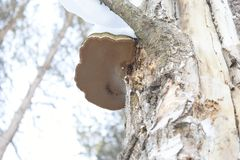 This hoof-shaped object is not chaga at all. Although growing on the birch. Well, you never know what`s on it, the poor can grow!. This is the true tinder Royalty Free Stock Images