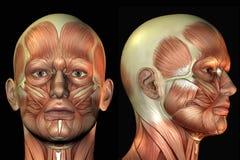 Hoofd anatomie Stock Fotografie