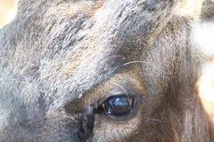 Hoofd Bruine herten Royalty-vrije Stock Fotografie