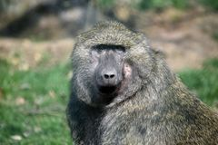Hoofd de Close-upportret van Papio Anubis van de bavianenaap royalty-vrije stock foto